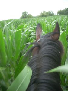 Eddie the horse in corn